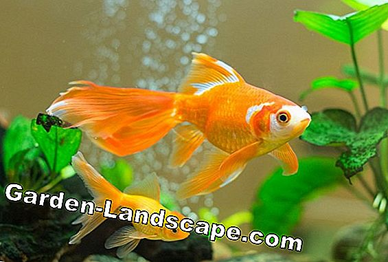 Goldfish successfully overwinter - fish in winter