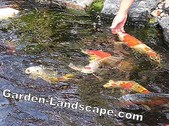 How many fish are kept in the pond?