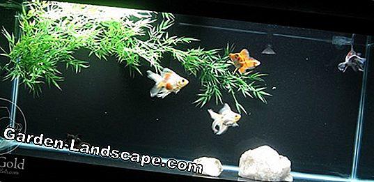 How old are goldfish in the pond and in the glass aquarium?