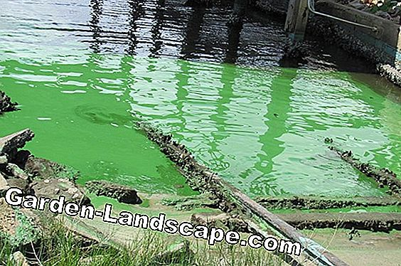 Remove red algae and fight it permanently