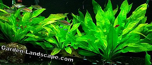 Sword plant, Echinodorus - care and propagation