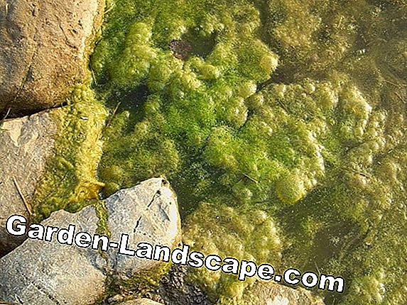Fight filamentous algae in the pond and swimming pond