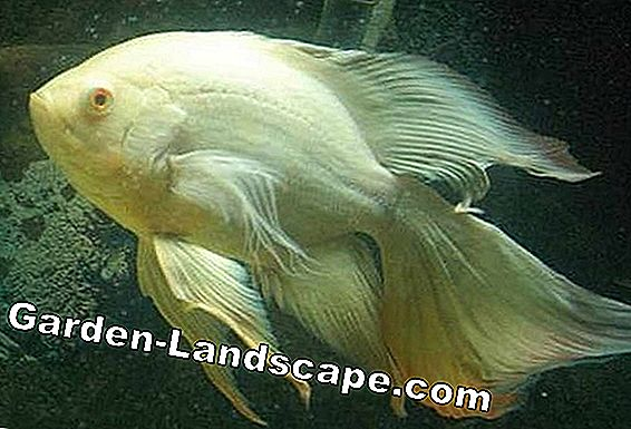 Veil-tail goldfish in the pond: keeping, breeding and wintering