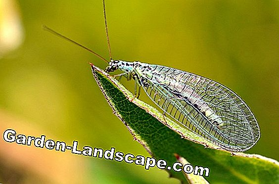 Fight aphids with lacewings