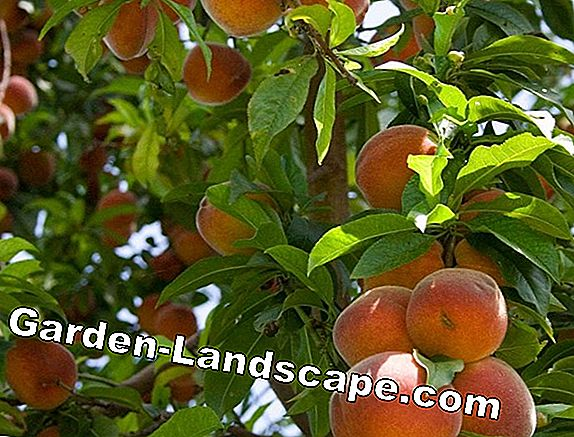 Apple Trees: Thinning Fruit Hanging