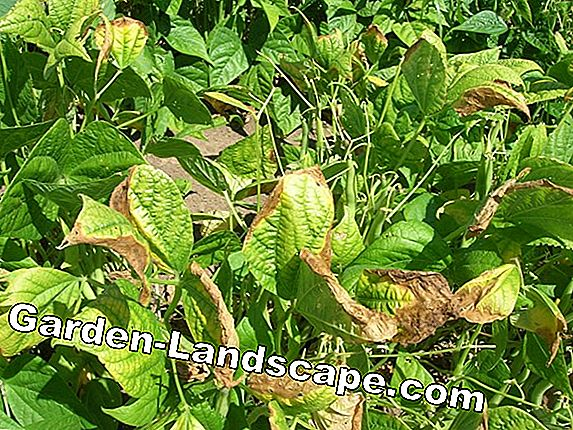 Burning disease: beans with dark spots