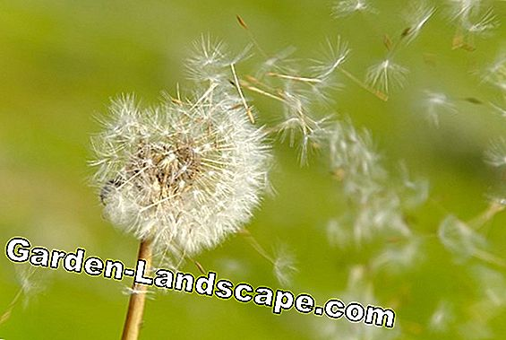 Dandelion removal: The best tips