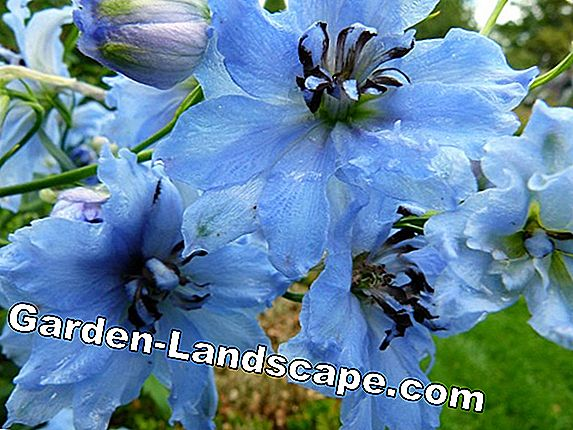 Delphinium: Blue flowers