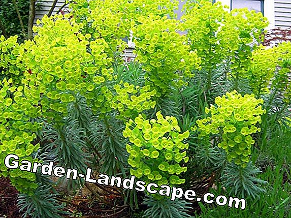 Euphorbia: perennial of the year 2013