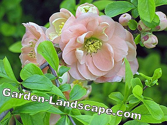 Simply multiply flowering shrubs