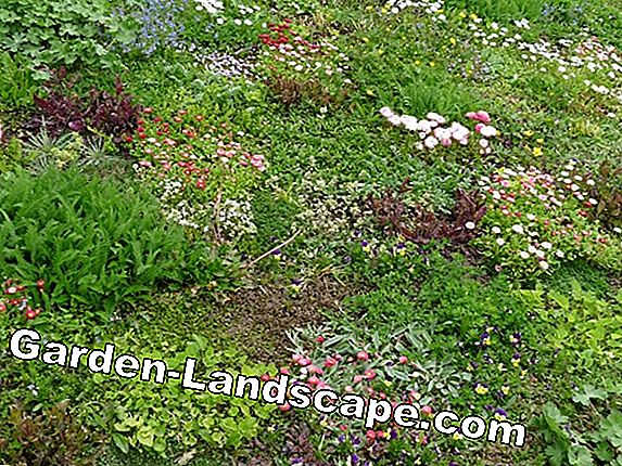 Flower lawn without mowing