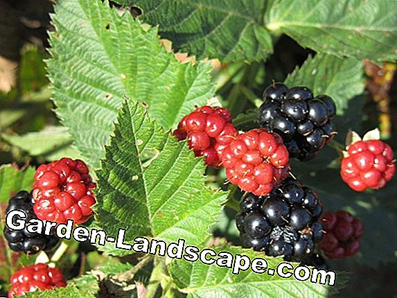 For a good harvest: mulch berry bushes