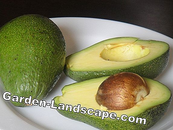 From the core to the avocado plant