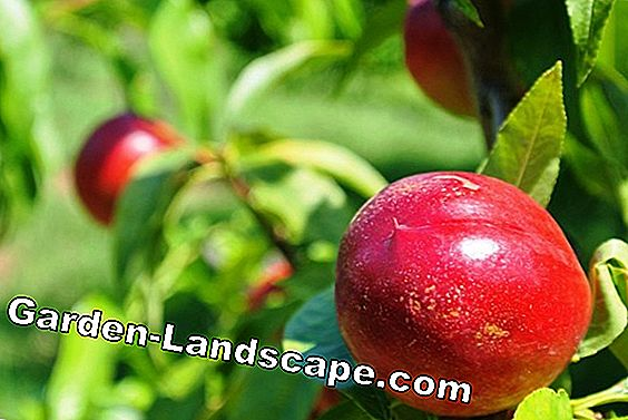 Fruit trees: How to ensure the fertilization