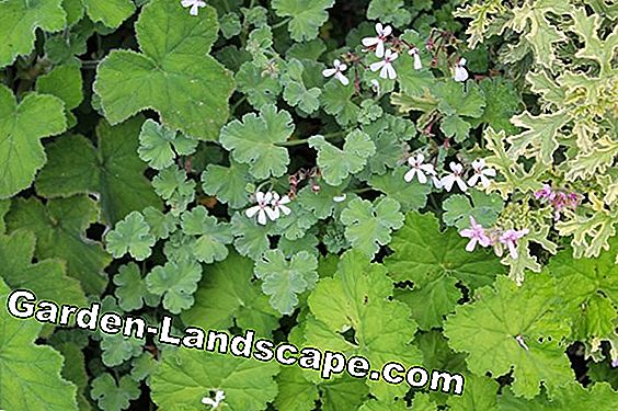 Geranium: current top varieties
