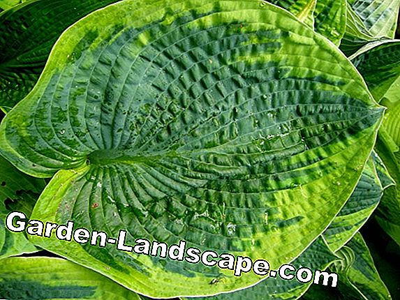 Giant Funkie 'Empress Wu' - The biggest hosta in the world