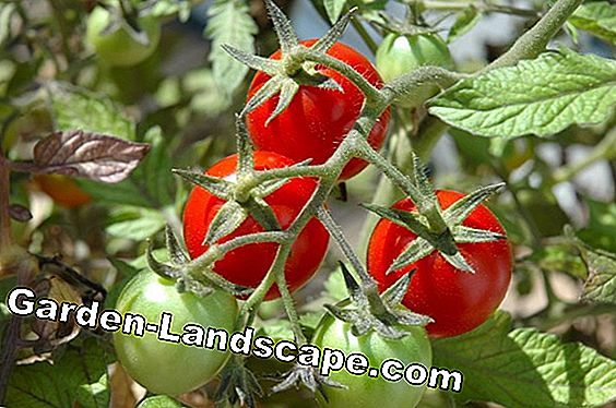 Harvest healthy tomatoes: the tips of our community