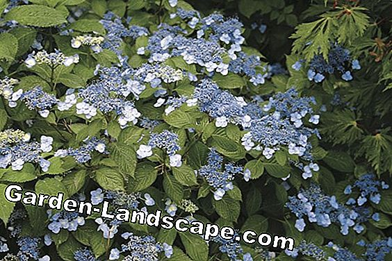 Hydrangeas - the great variety
