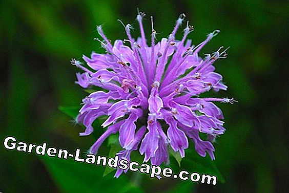 Indian: Monarda varieties without mildew