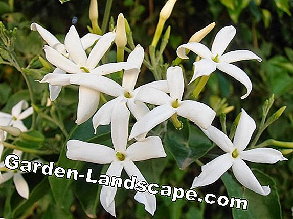 Jasminum officinale: The real jasmine
