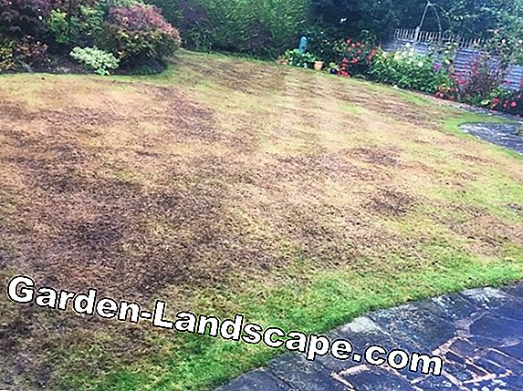 Scarify lawn properly
