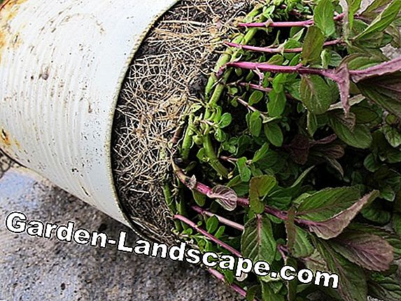 Plant mint: flower pot as root barrier