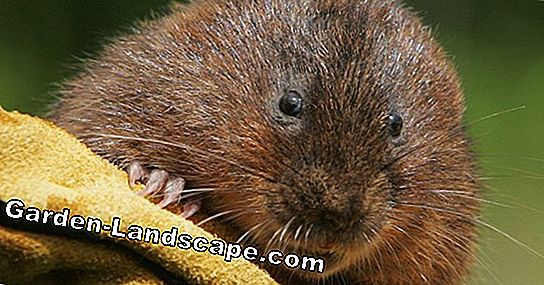 Mole or vole? The differences at a glance