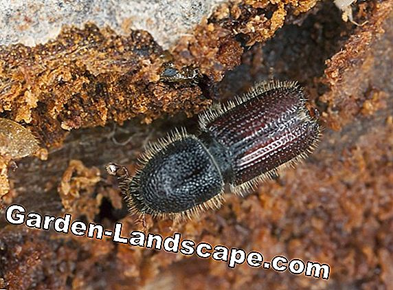 More and more bark beetles in the gardens