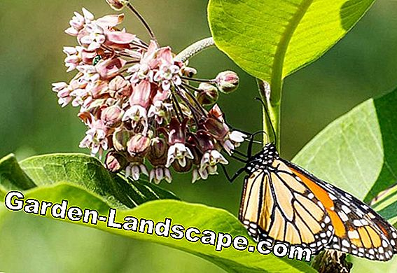 The main food plants for butterfly caterpillars