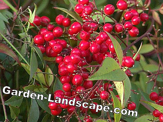 Ornamental shrubs with edible berries