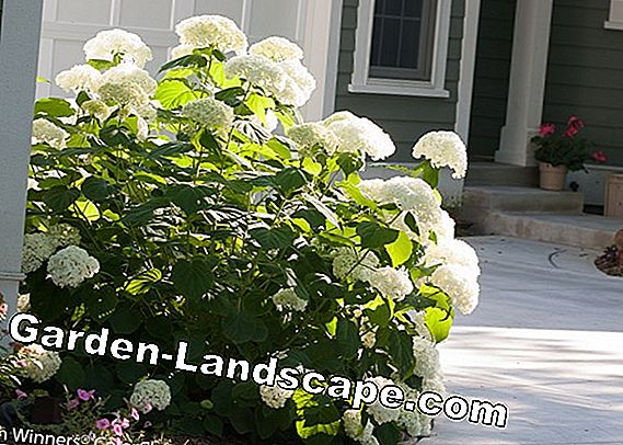Fertilize perennials properly