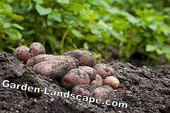 Grow potatoes in your own garden