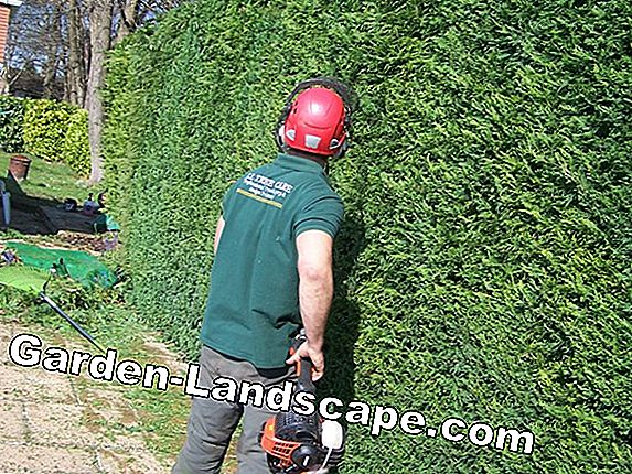 This is how the hedge trimming succeeds