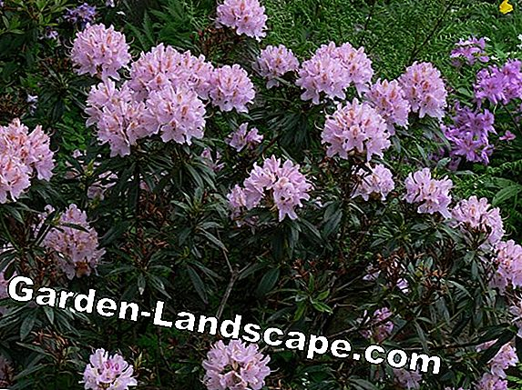 Plant rhododendron properly