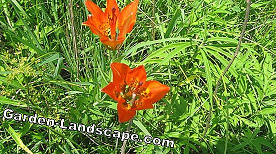 This is how you plant prairie lilies properly