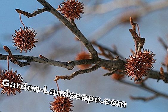 So plant a sweetgum tree
