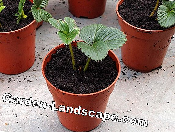 Strawberries: New plants from offshoots