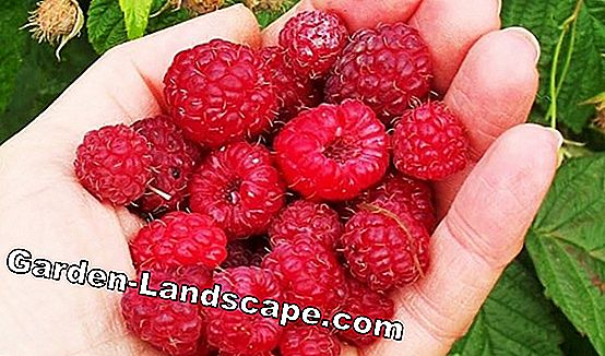 Maintain and harvest summer raspberries properly