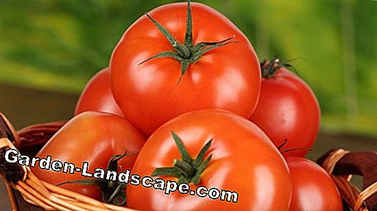 Tips for a rich tomato harvest