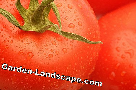 Fertilize and care for tomatoes properly