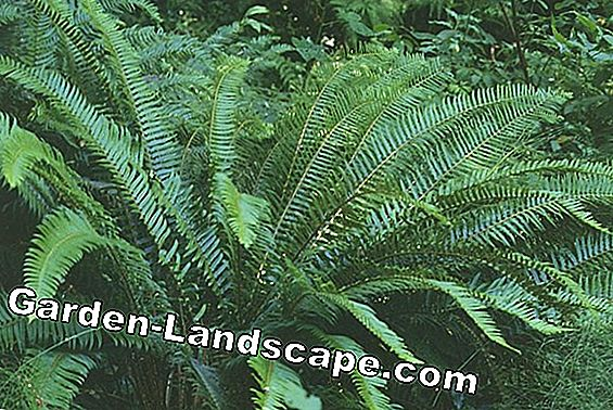 Tree Fern: A relic from prehistoric times