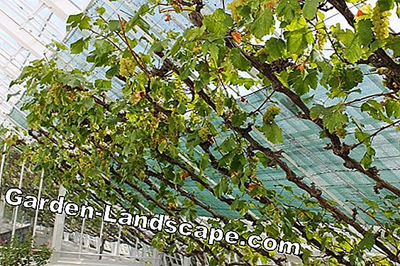 Grape vines for the garden