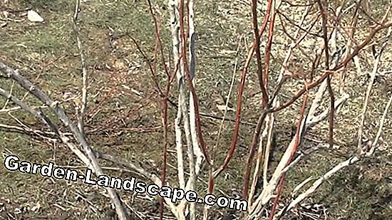 Remove wild shoots on corkscrew hazel