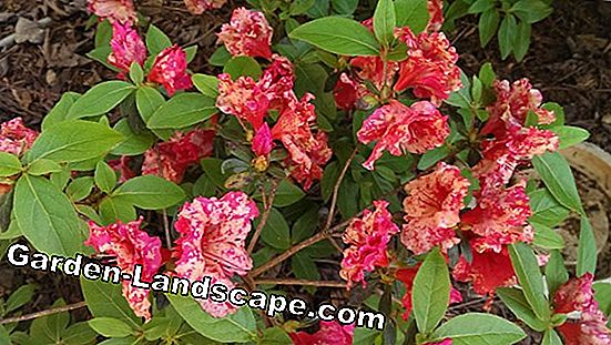 Withered Rhododendron flowers break out