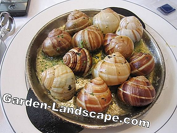 Snails: Gourmets coming