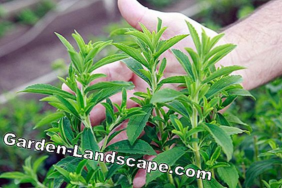 Stevia - plants - care, overwinter
