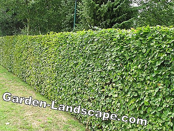 Plant beech hedge