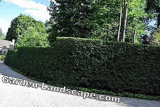 How to cut beech hedges properly