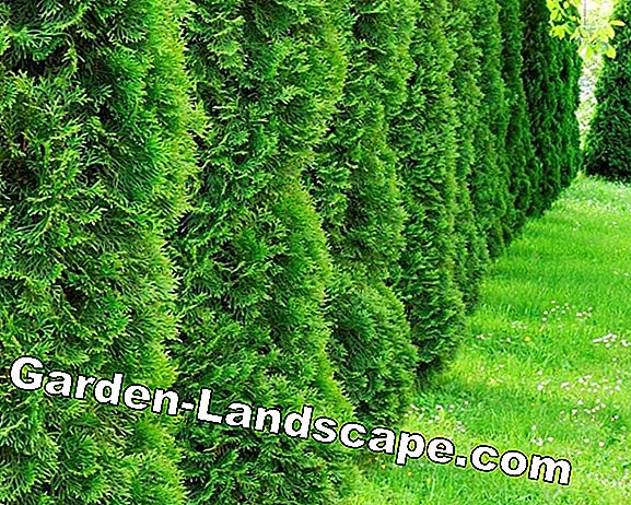 Plant yew hedges properly