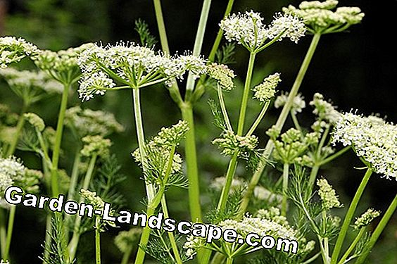 Bärwurz (Meum athamanticum) - Characteristics of the Plant & Recipes